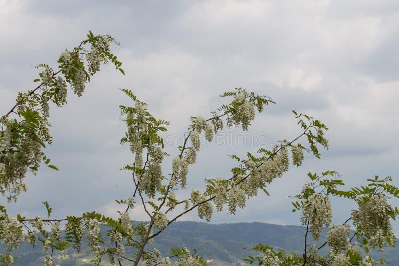 White flowering acacia branches. Abundant flowering acacia branch of Robinia pseudoacacia stock image