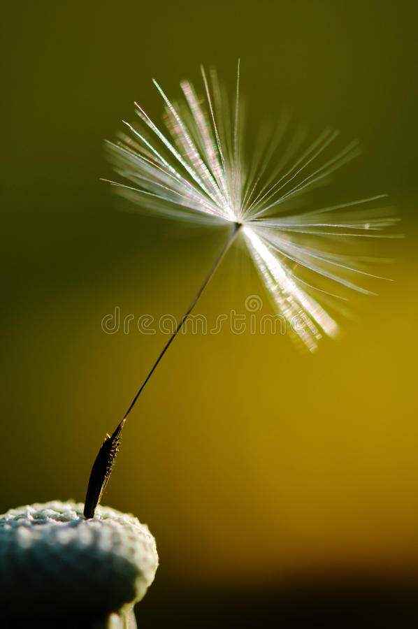 White flowering dandelion on green background, detail and macro photography dandelion seed.  royalty free stock photography