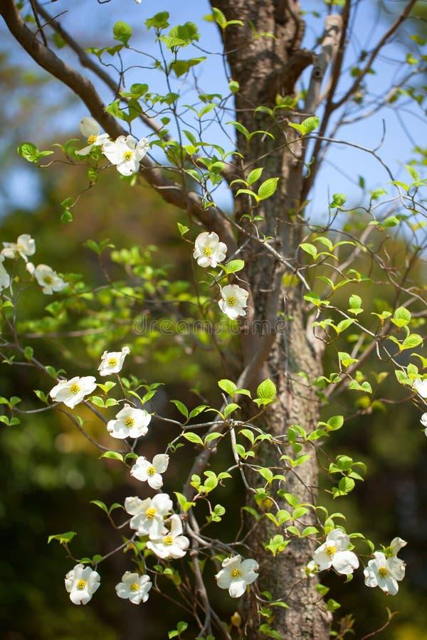 White flowering dogwood tree (Cornus florida), Japan stock photo