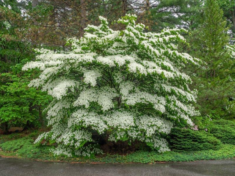 White flowering dogwood tree royalty free stock images