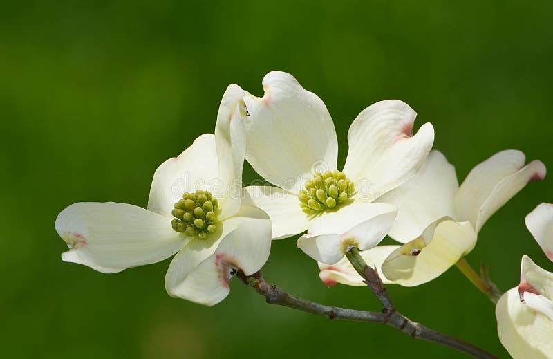 White flowering dogwood royalty free stock photography