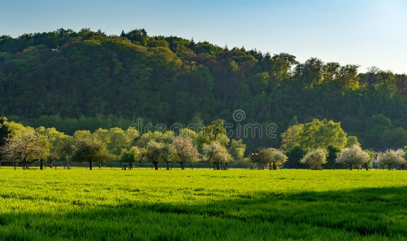 White flowering fruit trees on green meadow in the evening light, forest in the background, green field in foreground stock photography