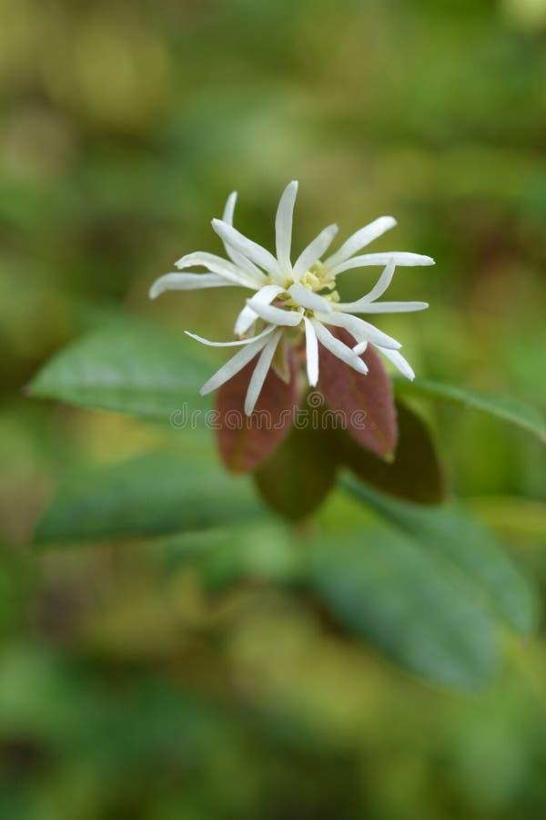 Chinese fringe flower. White-flowering green-leafed Chinese fringe flower - Latin name - Loropetalum chinense stock image