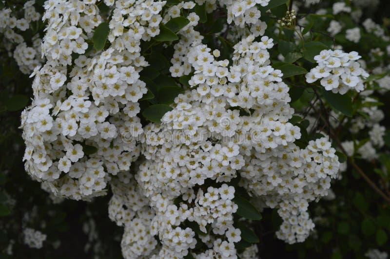 White flowering hedge. Spiraea, white flowers, white flowering hedge, tiny flowers royalty free stock images