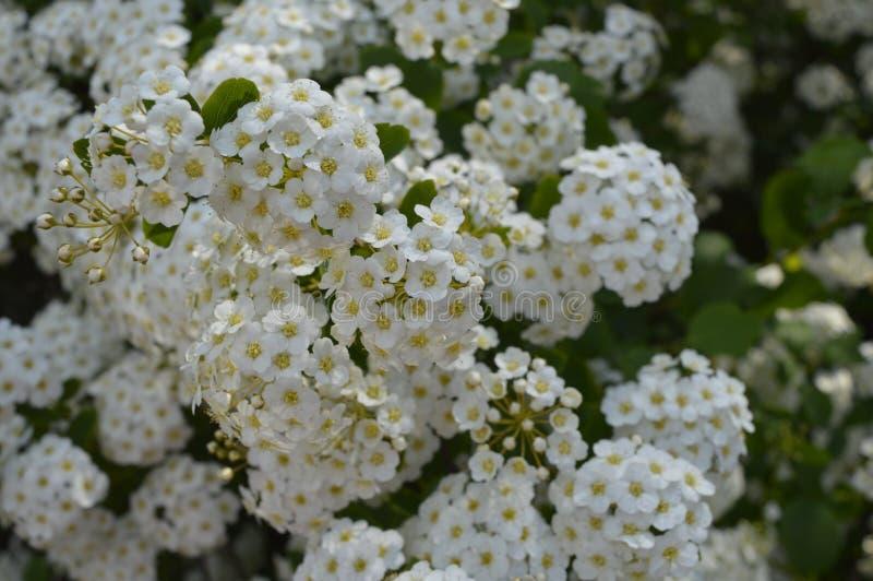 White flowering hedge. Spiraea, white flowers, white flowering hedge, tiny flowers stock photography