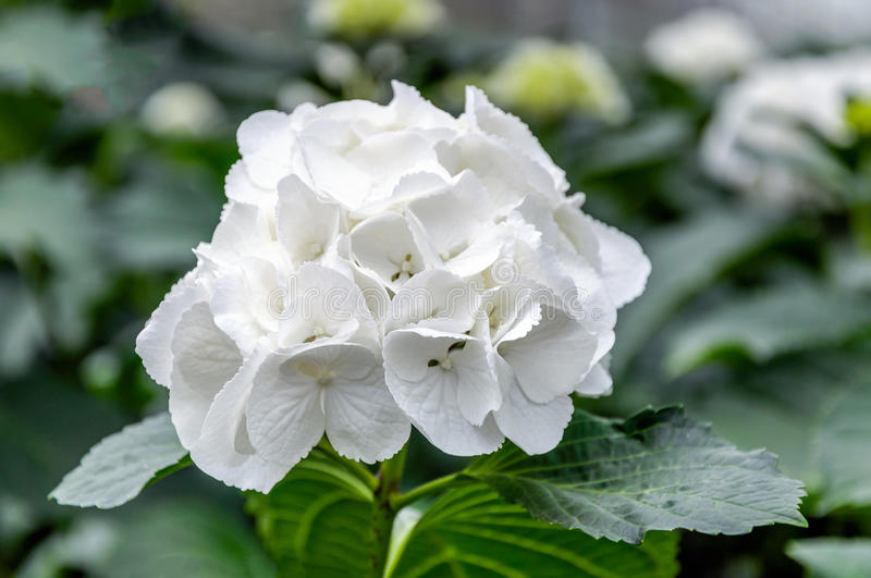 White flowering Hydrangea in a specialized Hydrangea cut flowers. Closeup of a pure white blooming Hydrangea macrophylla plant in a specialized Hydrangea cut stock photography