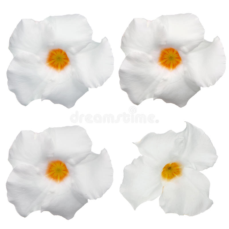 White flowering Mandevilla royalty free stock image