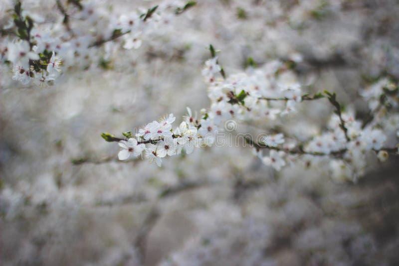 White Flowering Tree stock images