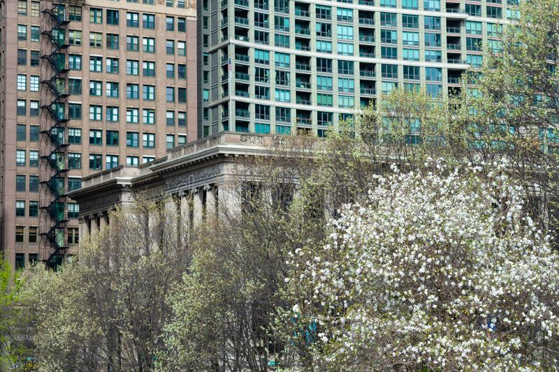White Flowering Tree and Buildings in Downtown Chicago. A white flowering tree with old and modern buildings and skyscrapers in downtown Chicago stock photos