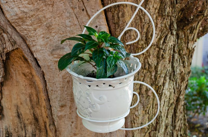 White flowerpot with fresh, juicy lush green plant, mounted on a huge tree trunk. Closeup. White flowerpot with fresh, juicy lush green plant, mounted on a huge stock image