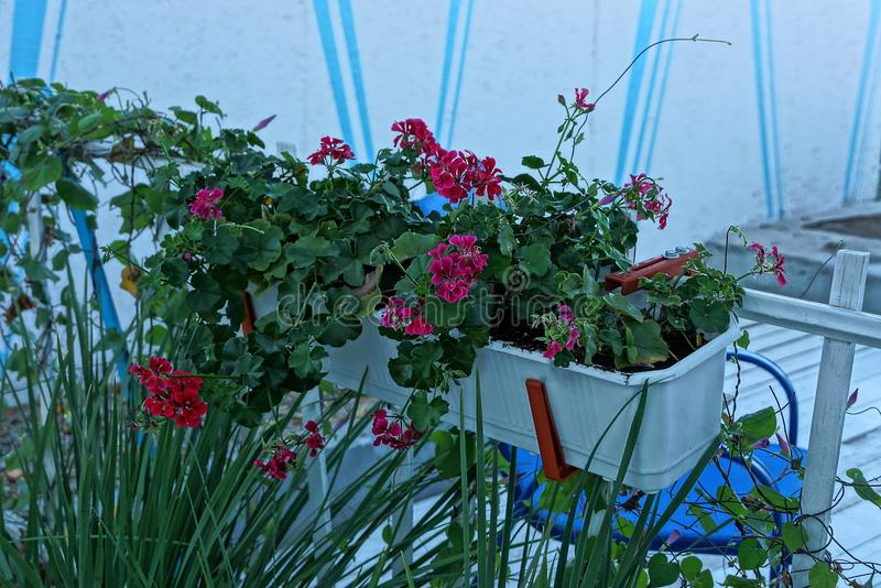 White flowerpot with red flowers on the wall in the street. White flowerpot with red decorative flowers on the wall in the street royalty free stock images