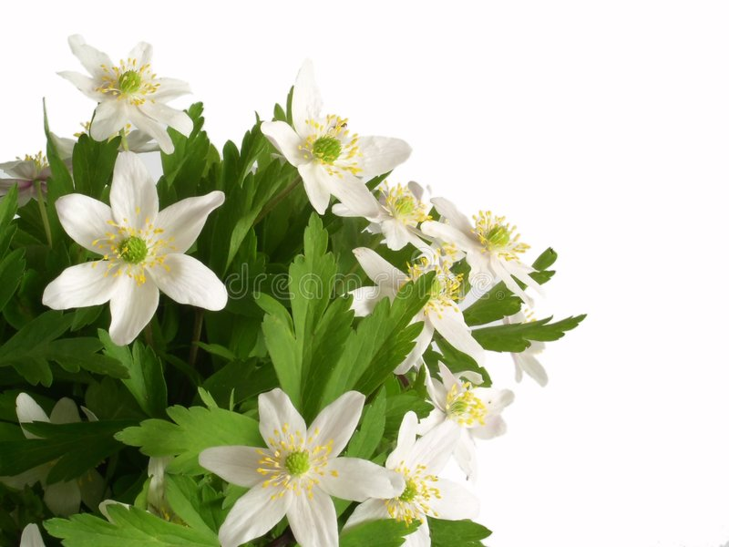 Download White flowers stock photo. Image of flowers, windflowers - 107958