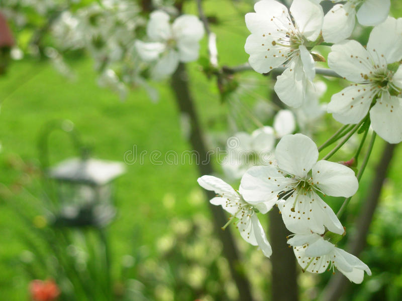 Download White flowers stock image. Image of nature, grass, sping - 13453801