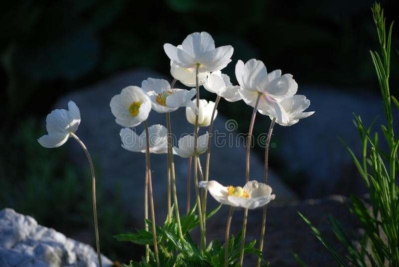Download White flowers stock photo. Image of nice, bloom, flowers - 15111698