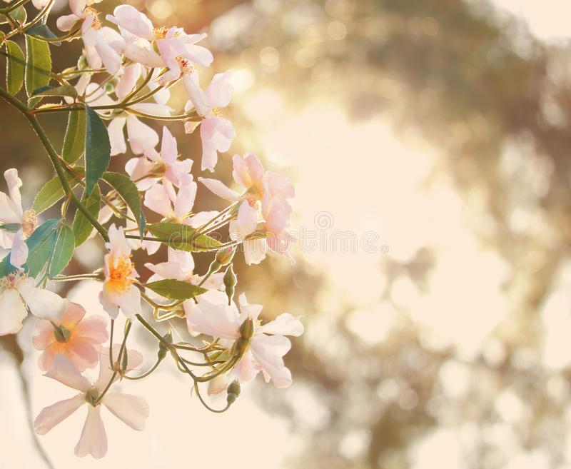 White flowers and sun shine. White flowers in the garden and sun shine stock image
