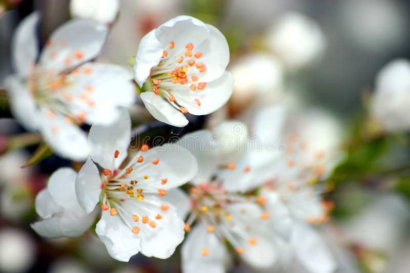 Download White Flowers stock photo. Image of plant, pollen, twig - 170800