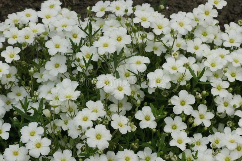 6988386857f Free Stock Photography  White Flowers Picture. Image  19545577