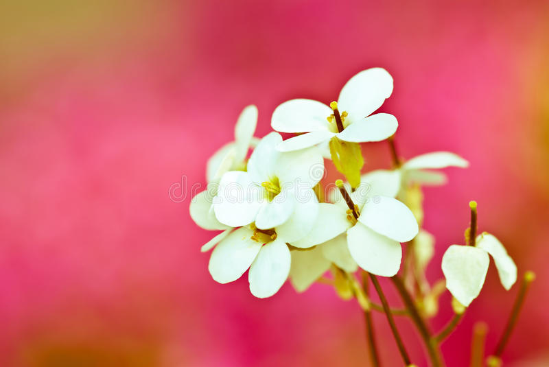 White flowers. On fucsia background stock photo