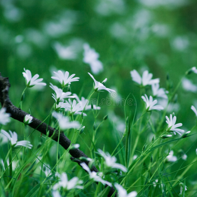 White flowers. Small white forest flowers in green grass stock photography