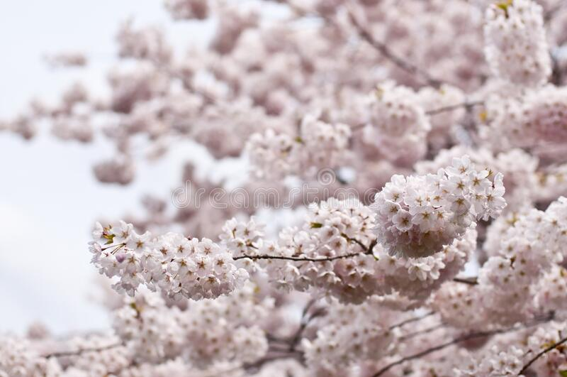 White Flowers Free Public Domain Cc0 Image