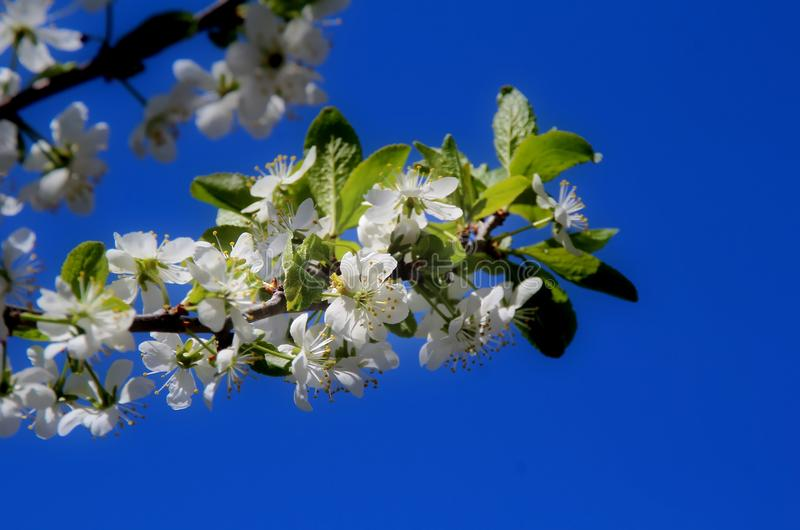 Cherry blossoms. White flowers adorn the branches of a crab Cherry tree in early spring royalty free stock photo