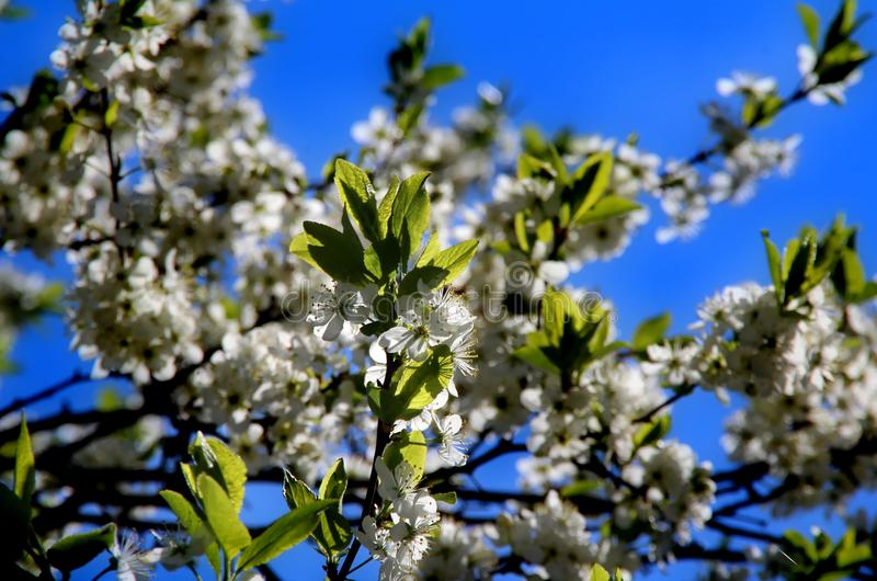 Cherry blossoms. White flowers adorn the branches of a crab Cherry tree in early spring royalty free stock images