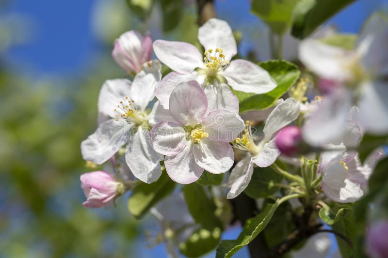 White flowers of the apple blossoms on a spring day over blue sky background. Flowering fruit tree in Ukraine stock photography