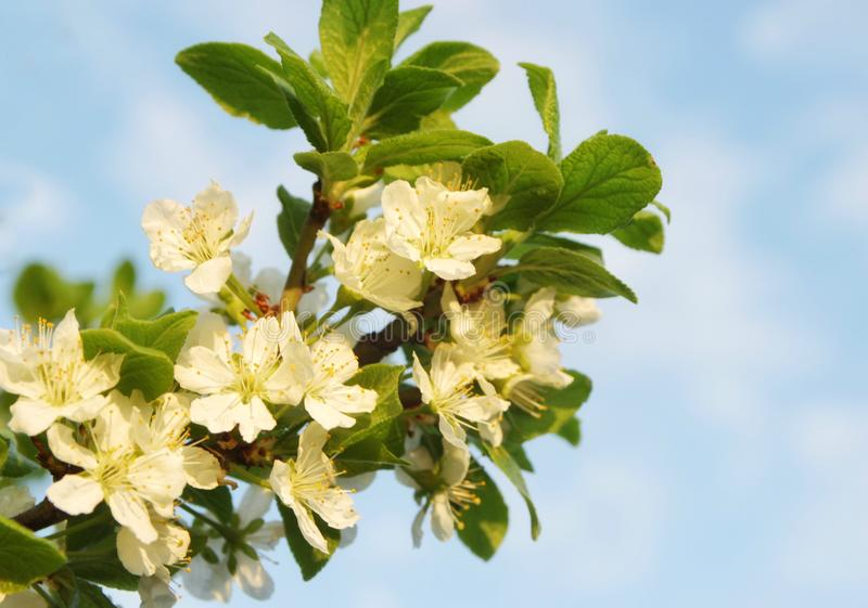 White flowers of an apple tree on a branch against a blue sky, selective focus, close-up stock images