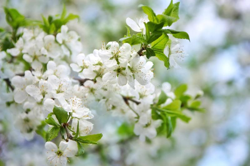 White apple flowers, selective focus royalty free stock image