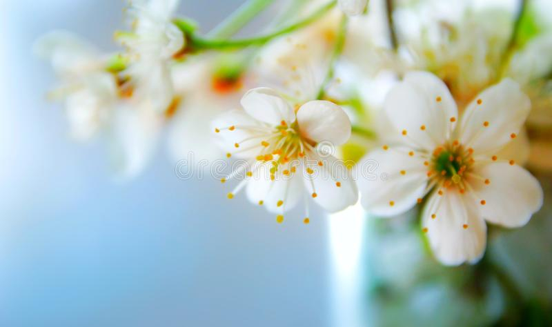 White flowers of an apple tree against blue sky background, selective focus royalty free stock photo