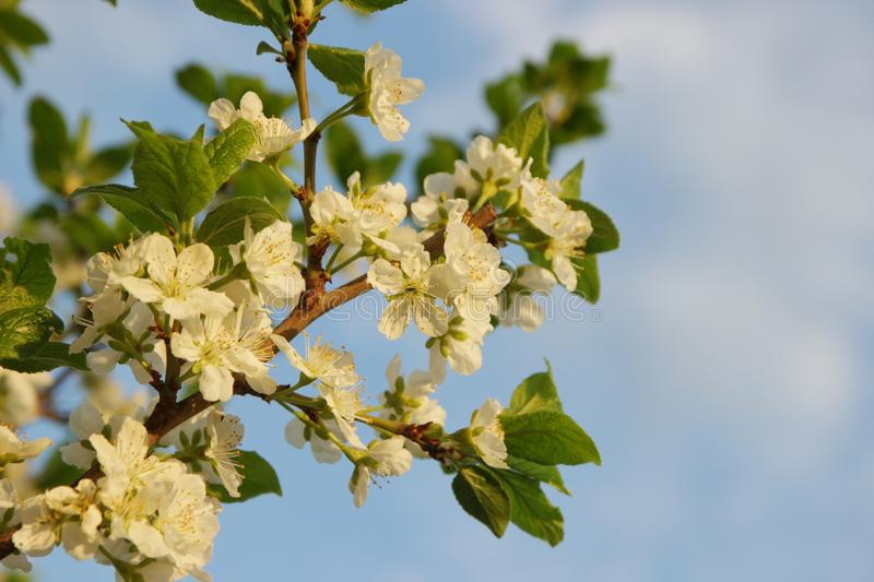 White flowers of an apple tree on a branch against a blue sky, selective focus, close-up stock photography