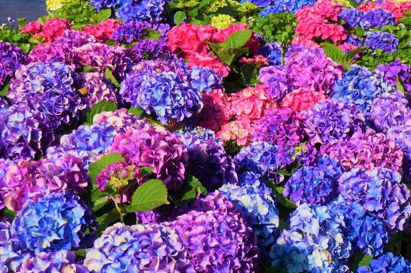 Pink and blue hydrangea flowers, purple. royalty free stock photography