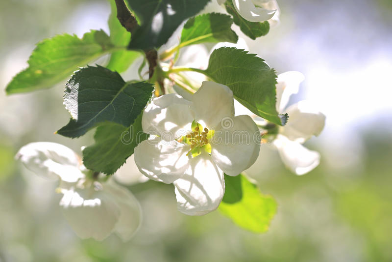 White Flowers of Apple Tree royalty free stock photos