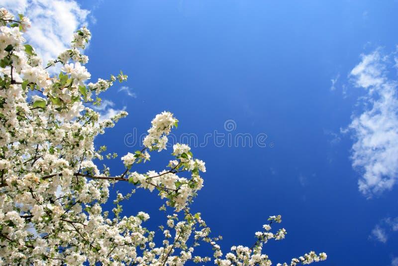 White flowers(apple-tree), spring, Poland royalty free stock photo