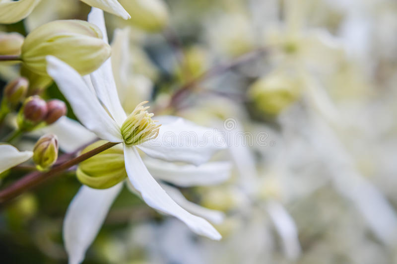 White flowers of Armandii Clematis stock photo