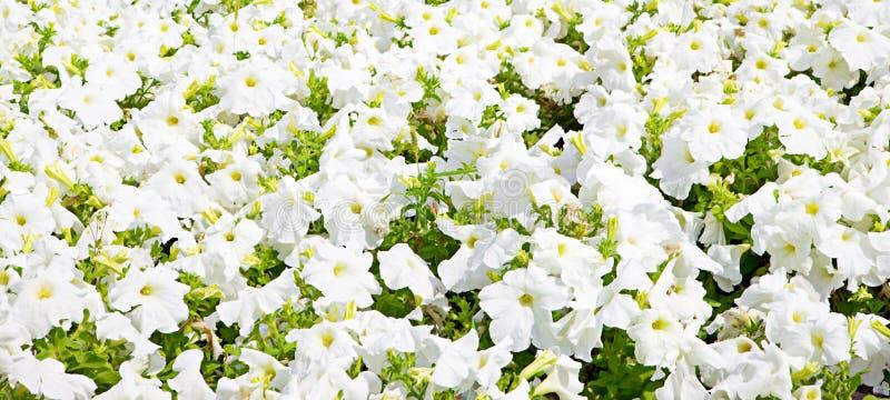 White flowers background royalty free stock image