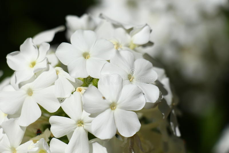 White flowers royalty free stock images