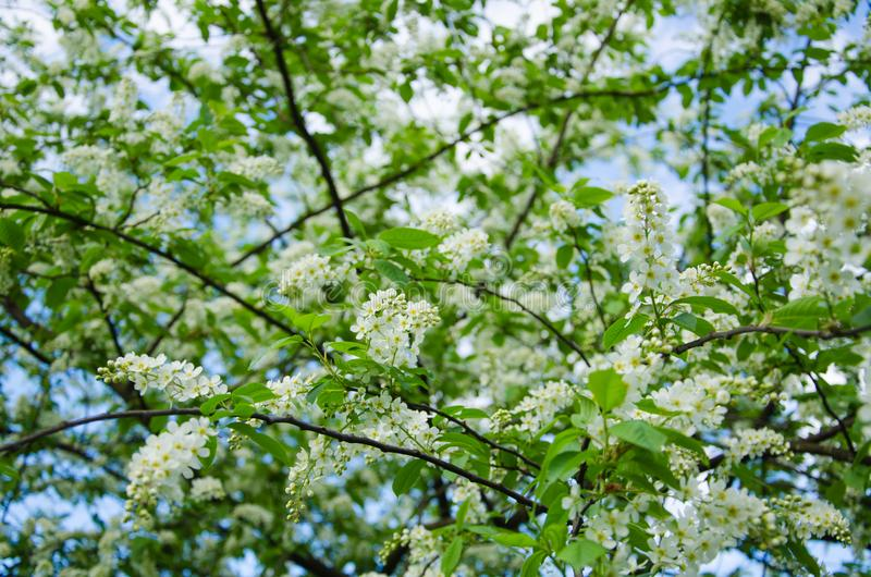 White flowers of bird cherry against the background of green leaves and blue sky royalty free stock images