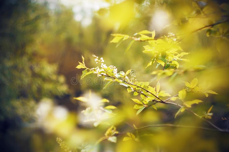 White flowers of bird cherry blossom on branches with green young leaves. Snow-white fragrant flowers of bird cherry blossom on branches with green young leaves stock photos