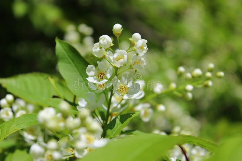 White flowers bird-cherry tree in the garden against green leaves stock photography