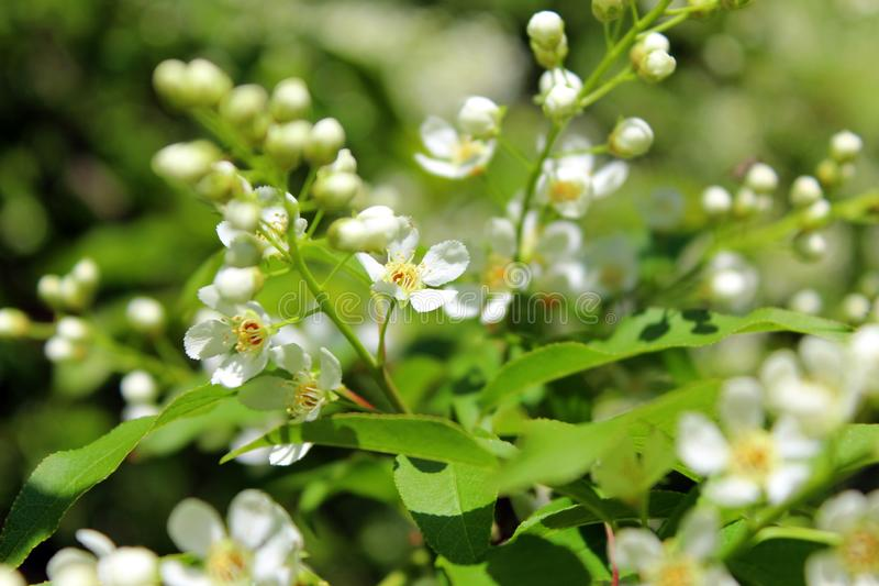 White flowers bird-cherry tree in the garden against green leaves royalty free stock photography