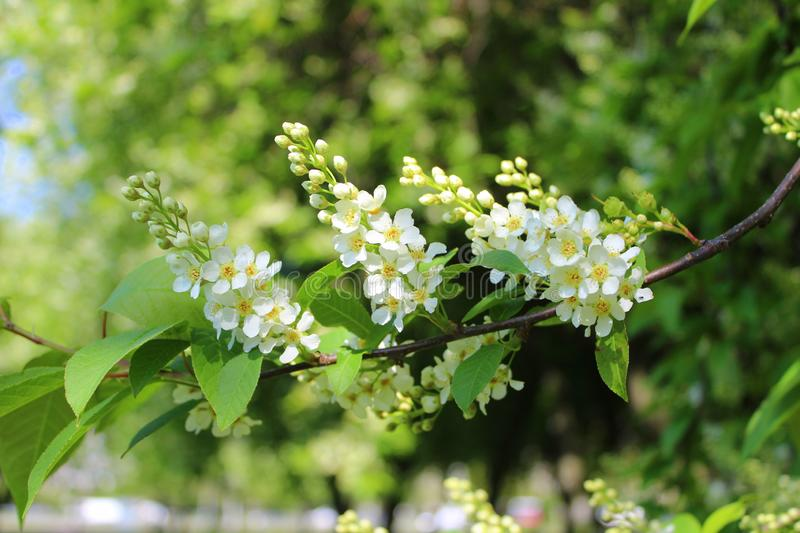 White flowers bird-cherry tree in the garden against green leaves royalty free stock images