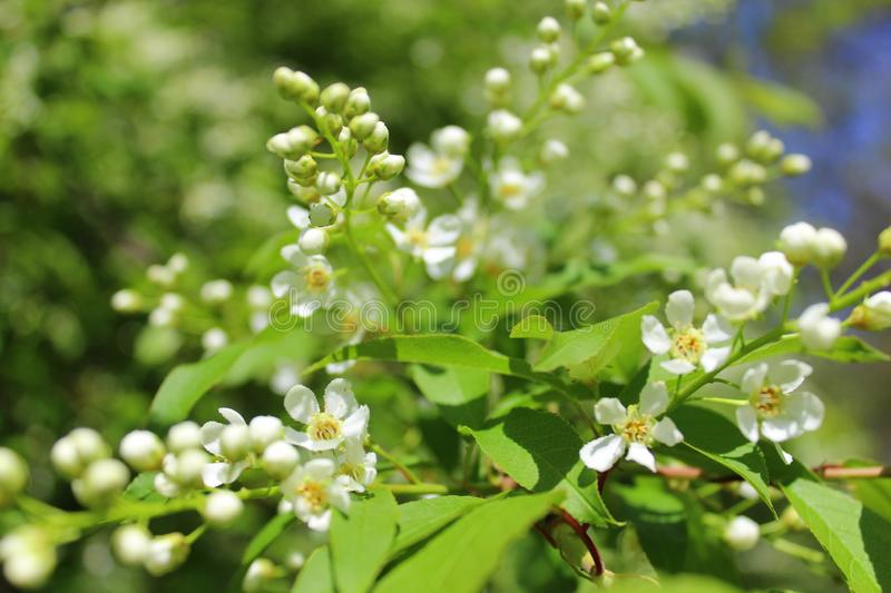 White flowers bird-cherry tree in the garden against green leaves royalty free stock photo