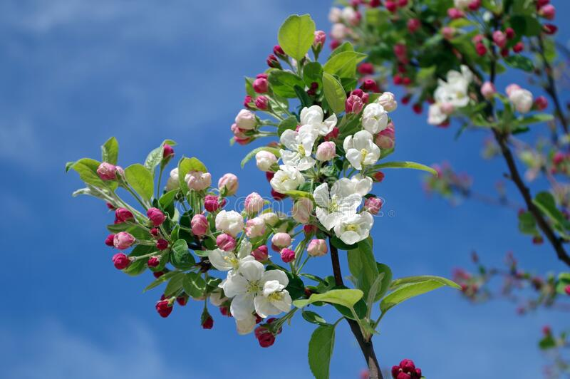 White Flowers on Black Tree Branch Under Sky during Daytime stock images
