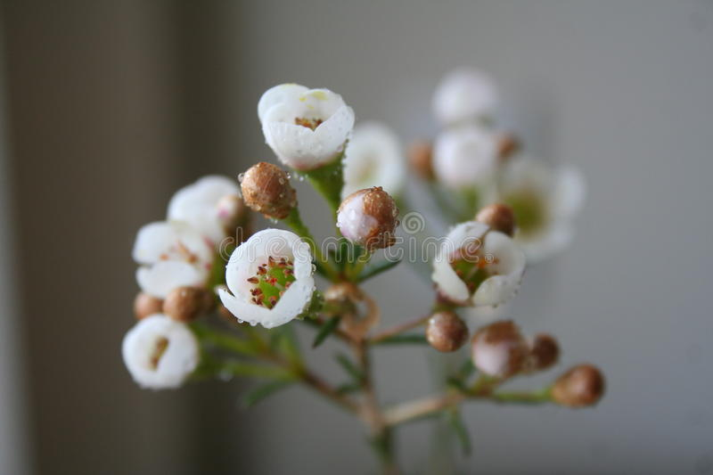 Download White flowers in bloom stock photo. Image of drops, blooming - 18508112
