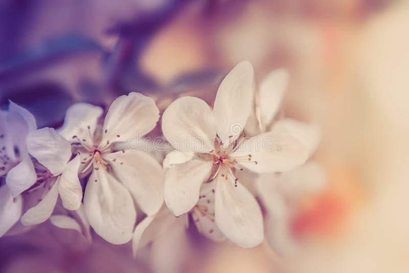 White flowers blossom. Nature vintage pastel background. White flowers blossom. Nature beautiful vintage pastel background stock photo