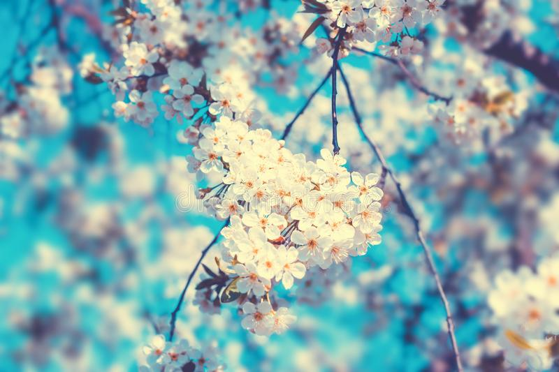 White flowers blossom in spring. Nature floral beautiful background royalty free stock photos
