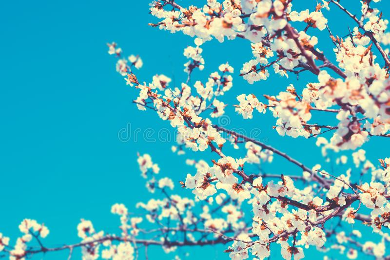 White flowers blossom in spring over blue sky. Nature floral beautiful background royalty free stock images
