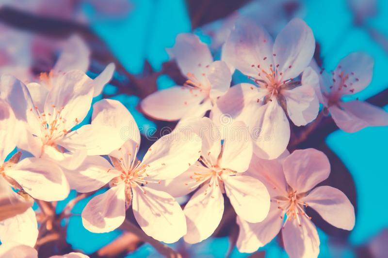 White flowers blossom in spring. At sunset. Nature floral beautiful background stock image