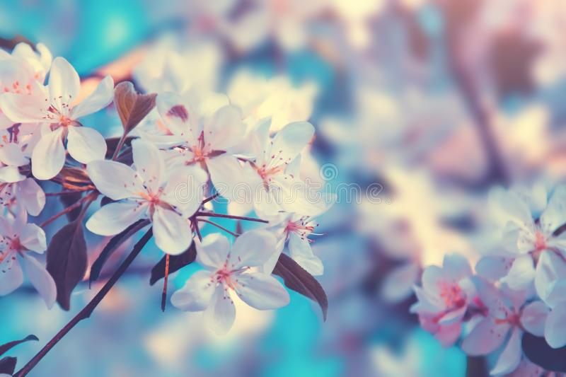 White flowers blossom in spring at sunset. Nature floral beautiful background royalty free stock photography